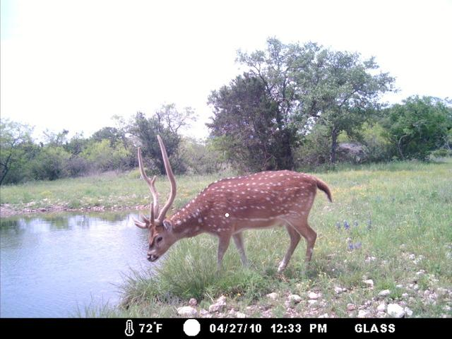 Axis Deer Lost Texasbowhunter Community Discussion Forums