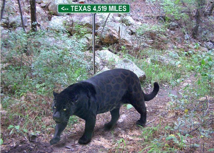 panther stories - page 2 - texasbowhunter community discussion