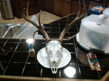 How to go about re-attaching antlers for a European mount