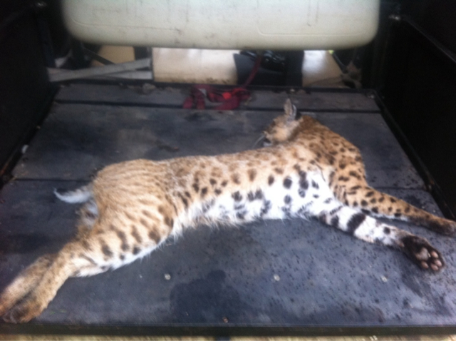 How Much Bobcat Mount Texasbowhunter Community