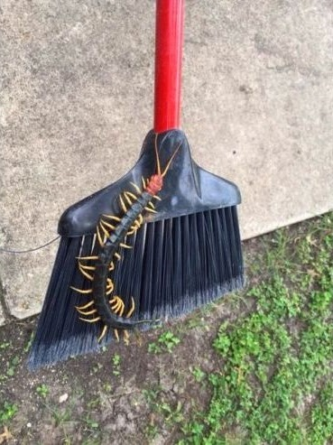 Ever seen one of these giant centipedes? - TexasBowhunter