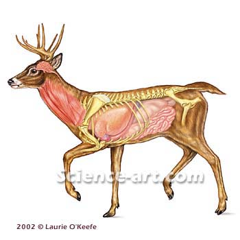 Picture of deer anatomy/vitals? - TexasBowhunter.com Community ...
