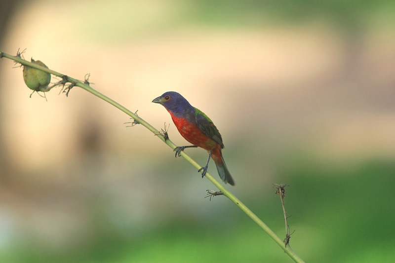 Name:  male_bunting_small.jpg Views: 219 Size:  99.7 KB