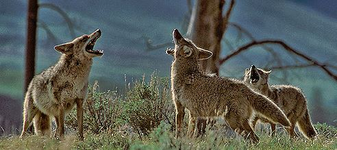 Name:  Coyotes 3A.JPG Views: 325 Size:  40.1 KB