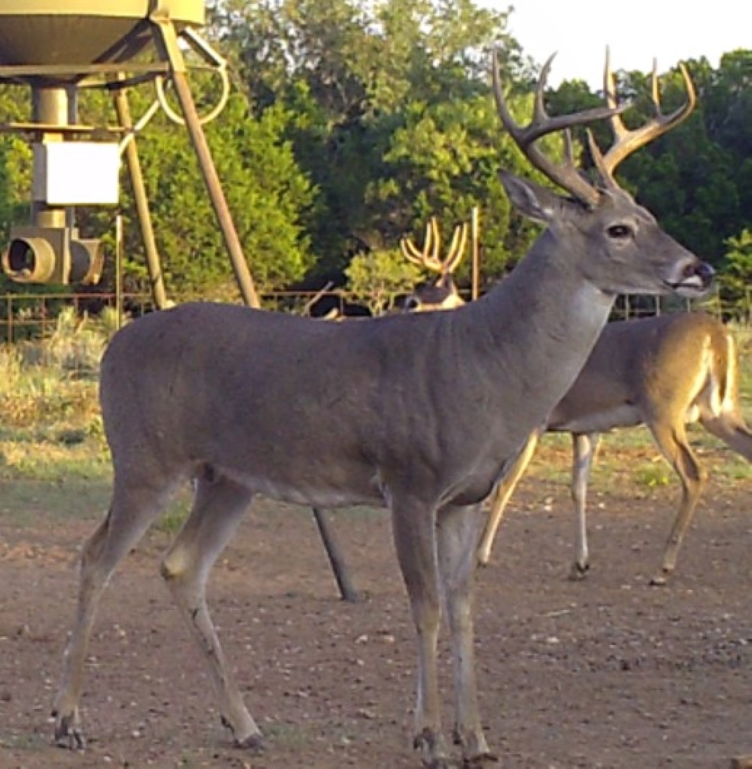 Name:  8pt Cull Buck (Large).jpg