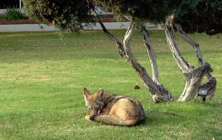 Name:  Coyote Sleeping.JPG